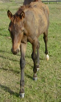 QH colt, Country Valentino-3 1/2 months, Out of Johnnie Holland