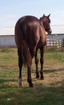 QH colt, Country Valentino-18 months, Out of Johnnie Holland