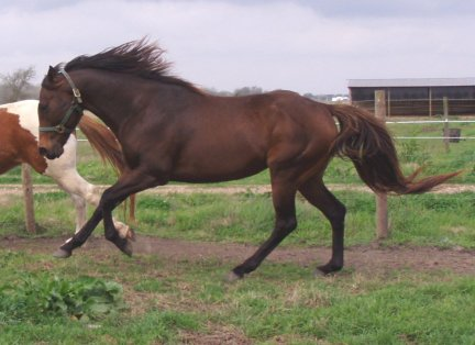 Brown TB Stallion