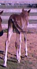 QH filly -2 days