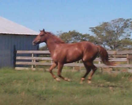 QH filly -2yo