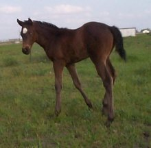 TB filly,Behold the Beauty-3wks, Out of Top My Sugar