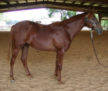 appy gelding, 1 year old, Out of Surprisetexasgoldy