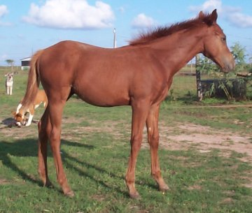 appy colt, Out of Surprisetexasgoldy