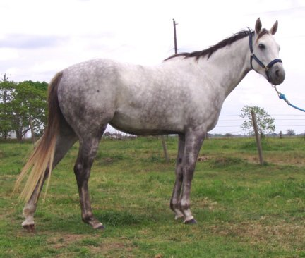 Gray QH filly