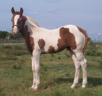 Pt Colt, - 2 months, Out of Amie Lee
