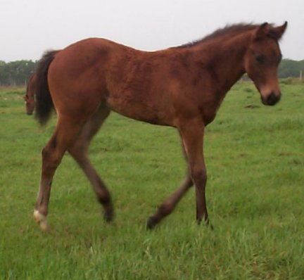 QH colt, -3 months, Out of Rammers Rose