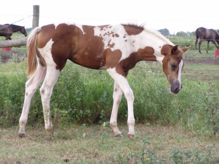 Homozygous paint filly
