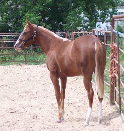 Aries Foolish Heart -yearling, Half TB, Out of Monroe As In Marilyn