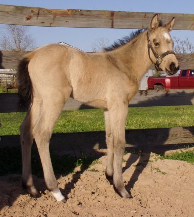 Buckskin filly, -1 week, out of Poised Bee Lynn