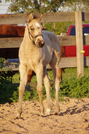 Buckskin filly, -3 weeks, out of Poised Bee Lynn
