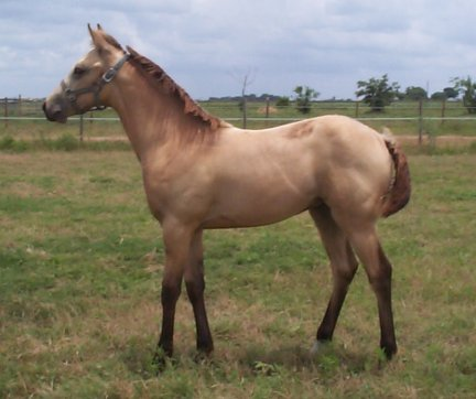 Buckskin QH filly, -4 months, out of Poised Bee Lynn