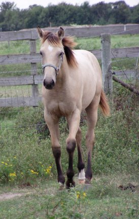 Buckskin filly, -6 months, out of Poised Bee Lynn