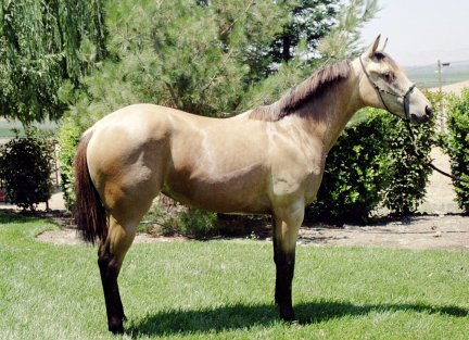 Buckskin filly, -14 months, out of Poised Bee Lynn
