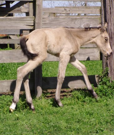 Buckskin filly, -newborn, out of Poised Bee Lynn