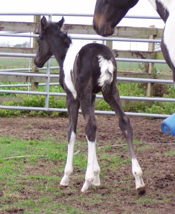 Paint filly, -1 day, Out of Frosty Starstepper