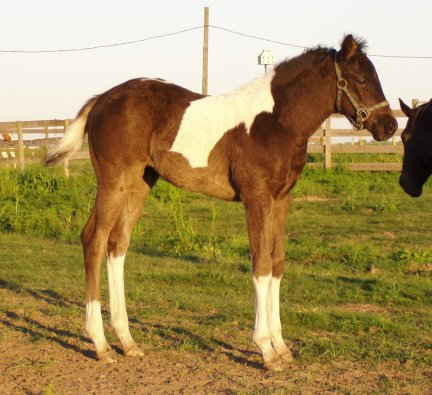 Paint filly, -3 weeks, Out of Frosty Starstepper