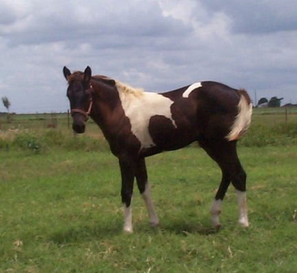 Paint filly, -3 1/2 months, Out of Frosty Starstepper