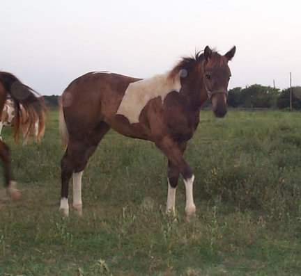 Paint filly, -4 1/2 months, Out of Frosty Starstepper