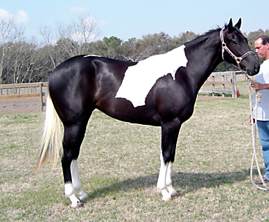 Paint filly, -2yo, Out of Frosty Starstepper