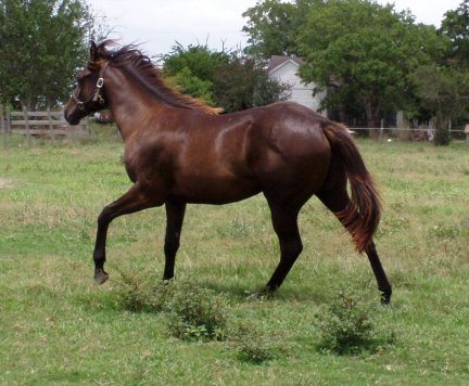 QH yearling filly, Out of LS Home Free