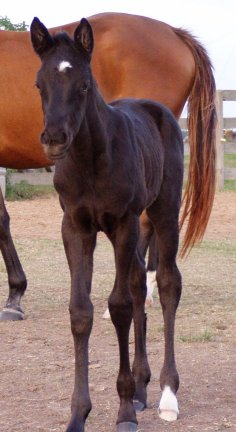 QH filly, -3 weeks, Out of LS Home Free