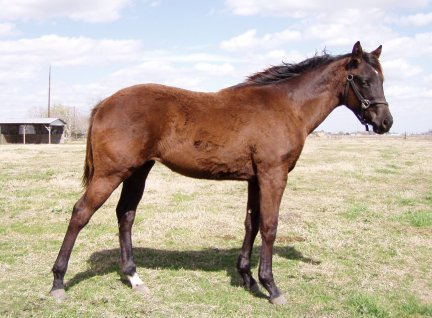 QH filly, 10 months, Out of LS Home Free