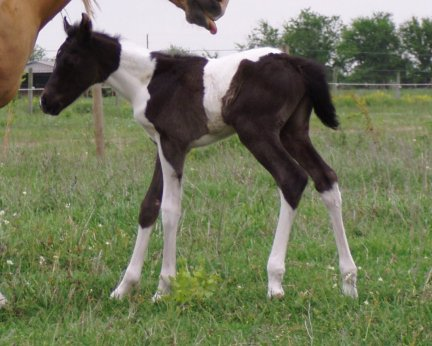 Pt filly, -1 day, Out of Golden Scoter