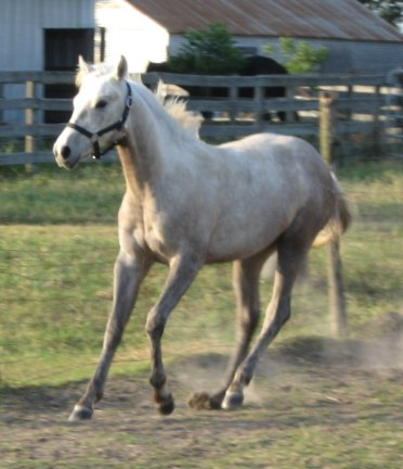 QH filly, -12 months, Out of Bostina Cream Pie
