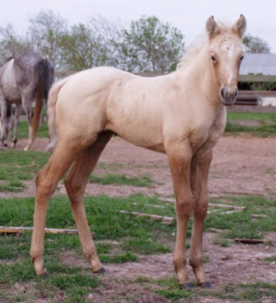 QH filly, -2 weeks, Out of Bostina Cream Pie