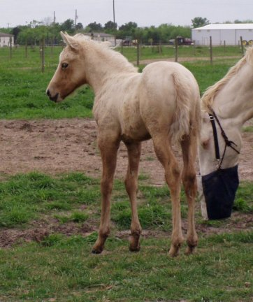 QH filly, -2 1/2 weeks, Out of Bostina Cream Pie