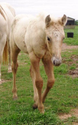 QH filly, -3 weeks, Out of Bostina Cream Pie