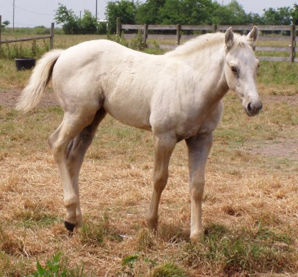 QH filly, -2 months, Out of Bostina Cream Pie