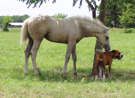 QH filly, -3 months, Out of Bostina Cream Pie