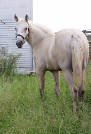 QH filly, -6 months, Out of Bostina Cream Pie