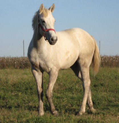 QH filly, -10 months, Out of Bostina Cream Pie