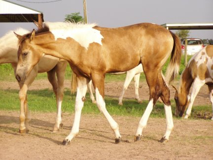 Paint filly, - 3 months, Out of Golden Scoter