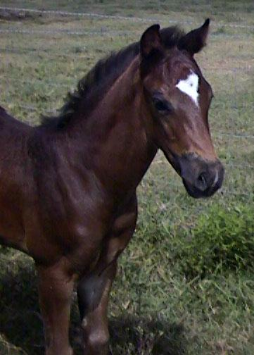 1/2 TB Pinto colt, Country Knight-4wks, out of HS My Wysteria