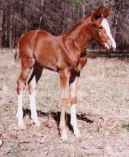 TB filly, Countrys Secret-3wks, Out of Amamiss Gold Ruler